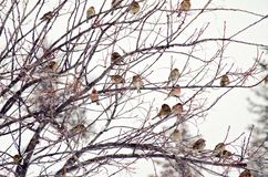 Canadian Winter Birds. House finches taking refuge during stormy Canadian winter Royalty Free Stock Photos