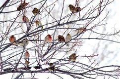 Canadian Winter Birds. House finches taking refuge during stormy Canadian winter Royalty Free Stock Images