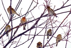 Canadian Winter Birds. House finches taking refuge during stormy Canadian winter Stock Image