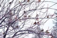 Canadian Winter Birds. House finches taking refuge during stormy Canadian winter Royalty Free Stock Photo