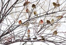 Canadian Winter Birds. House finches taking refuge during stormy Canadian winter Stock Photo