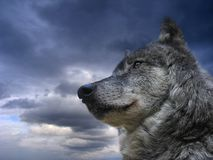 Canadian Wolf. Majestic wolf portrait Royalty Free Stock Photos