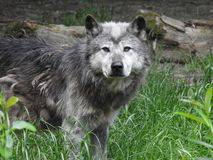 Canadian Wolf royalty free stock photo