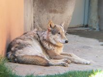 Canadian wolf in a zoo. Canis lupus, mammal and carnivorous animal, species threatened, predatory and dangerous for the cattle, live in group Stock Image