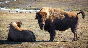 Canadian wood bison relaxing in field during winter day Stock Photo