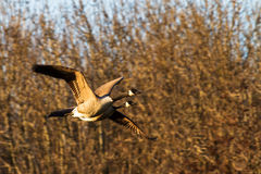Canadians geese Royalty Free Stock Images