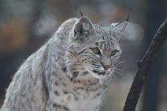 Canadien de égrappage Lynx Photo stock