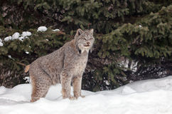 Canadien Lynx Images libres de droits
