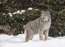 Canadien Lynx Photos libres de droits