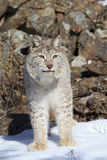 Canadien Lynx Photo libre de droits