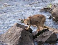 Canadien Lynx marchant le long de la rivière Photographie stock