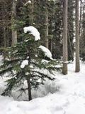 Canadien Rocky Mountains de Pinetree couvert par neige Photographie stock libre de droits