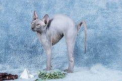 Canadiense azul Sphynx el gatito sin pelo canadiense del gato Fotos de archivo