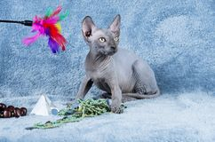 Canadiense azul Sphynx el gatito sin pelo canadiense del gato Foto de archivo