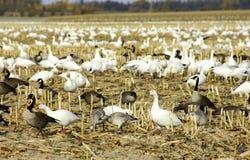 Canadiense y gansos de nieve en campo de maíz cortado Imagen de archivo