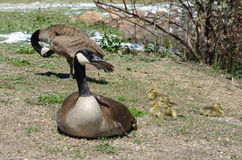 Canada goose family Royalty Free Stock Images