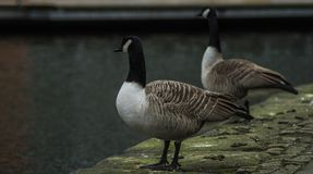 Canal de Manchester, o olhar dos gansos sobre Imagem de Stock Royalty Free