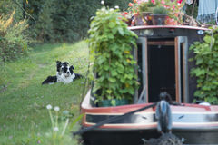 Canal Dogs. A pair of Border Collies wait patiently on the towpath by their master's boat on the Grand Union Canal at Slapton, Bedfordshire, UK Royalty Free Stock Photo