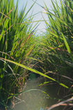 Canal in rice field Stock Photo