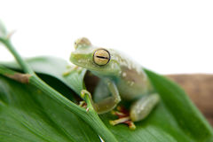 The Canal Zone tree frog on white Stock Image