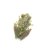 The Canal Zone tree frog on white Royalty Free Stock Images