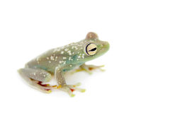The Canal Zone tree frog on white Royalty Free Stock Photo