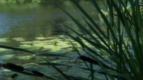 Canale con le canne ed i gigli di acqua stock footage