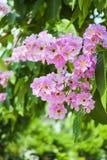 Cananga cor-de-rosa Imagem de Stock Royalty Free