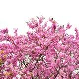 Cananga flower Royalty Free Stock Image