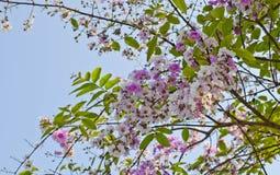 Cananga flower (Cananga odorata) Royalty Free Stock Photography