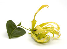 Cananga flower isolated Royalty Free Stock Photography