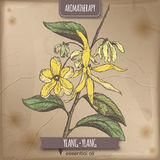 Cananga odorata aka ylang-ylang color sketch on vintage paper. Background. Aromatherapy series. Great for traditional medicine, perfume design or gardening Stock Images