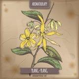 Cananga odorata aka ylang-ylang color sketch on vintage paper Stock Images