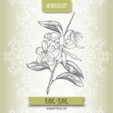 Cananga odorata aka ylang-ylang sketch. On elegant lace background. Aromatherapy series. Great for traditional medicine, perfume design or gardening Royalty Free Stock Photos