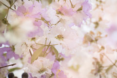 Cananga odorata flowers, Thai Flower Tabak Royalty Free Stock Photography
