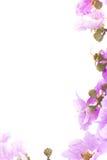 Cananga odorata flowers, on white background Stock Photo