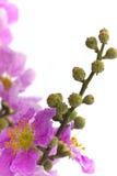 Cananga odorata flowers on white background Stock Photo