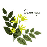 Cananga odorata illustration Stock Images