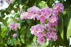 Cananga rosa fotografie stock