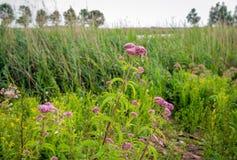 Canapa-agrimony di fioritura rosa polveroso pallido ed altre piante selvatiche dentro Fotografie Stock Libere da Diritti