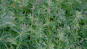 Canapa durante la fioritura Il movimento della macchina fotografica sopra la cannabis sistema Fucilazione video dalle mani dei ge video d archivio