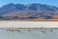 Canapa Lagoon landscape with Flamingos, Bolivia stock photo
