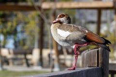 Canard égyptien d'oie se tenant sur une une jambe sur la barrière en bois Photos stock