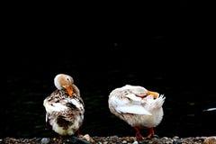 Canard Photographie stock