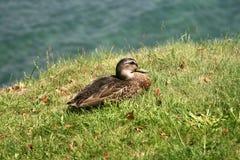 Canard Photo libre de droits