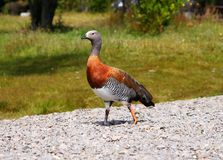 Canard. Photo libre de droits
