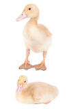 Canard Images stock