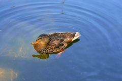 Canard Photographie stock