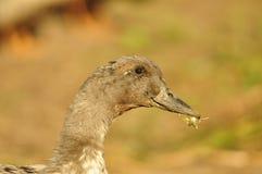Canard Photographie stock libre de droits