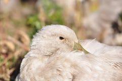 Canard Photos libres de droits